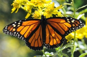 monarch-butterfly-close-macro-orange-bug-insect-300x199